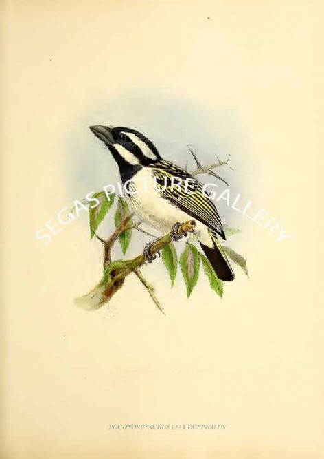 Fine art print of the POGONORHYNCHUS LEUCOCEPHALUS by J G Keulemans (1871)